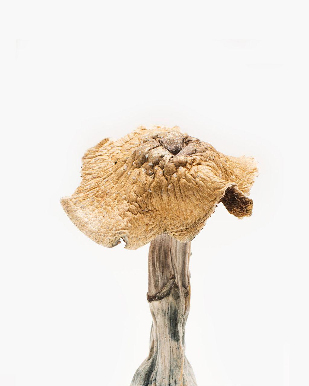 Burmese Magic Mushrooms